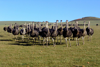 OSTRICHES - SOUTH AFRICA