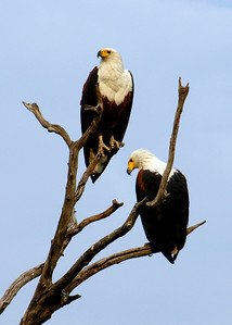 AFRICAN FISH EAGLES - BOTSWANA