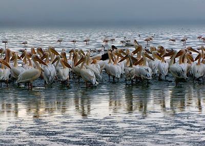 WHITE PELICANS - LAKE NAKURU, KENYA