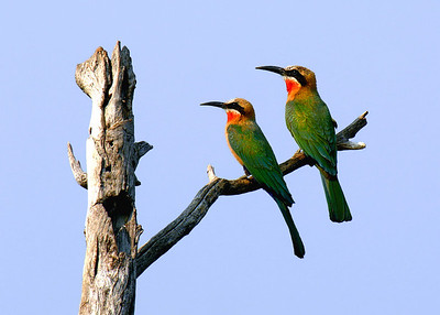 WHITE FRONTED BEE EATERS - BOTSWANA
