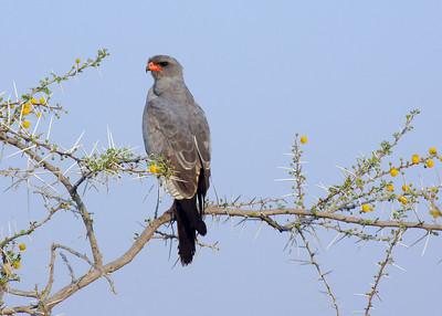 PALE CHANTING GOSHAWK - NAMIBIA
