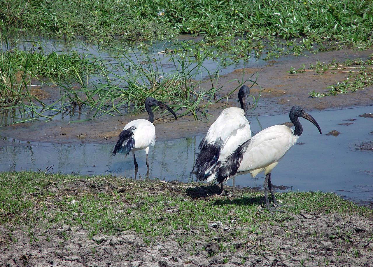 SACRED IBIS - ETHIOPIA