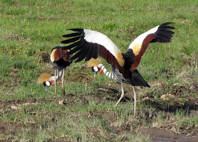 CROWNED CRANES - KENYA