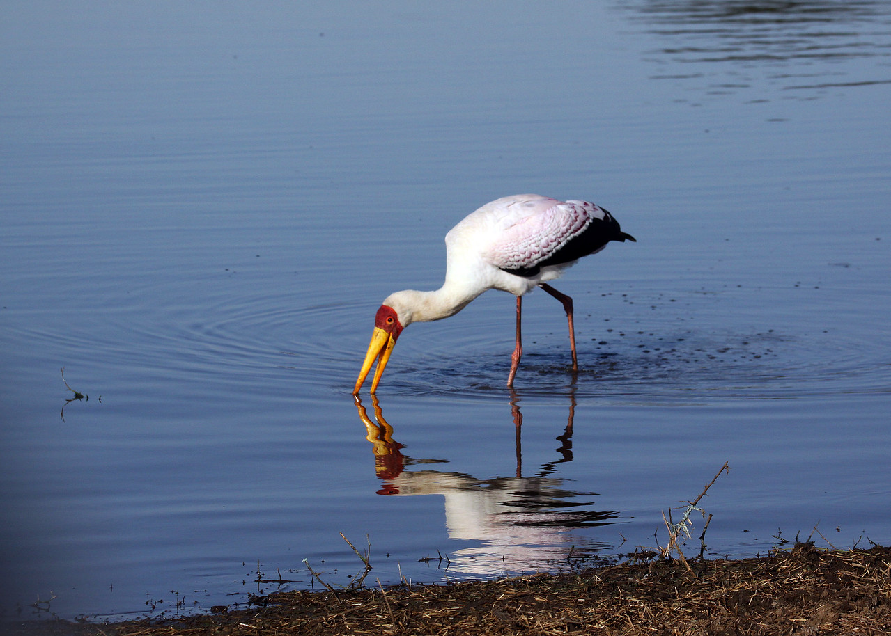 YELLOW BILLED STORK - SOUTH AFRICA