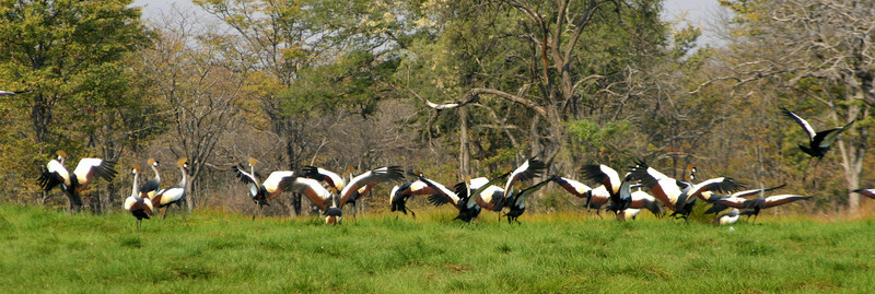 CROWNED CRANES - ZAMBIA