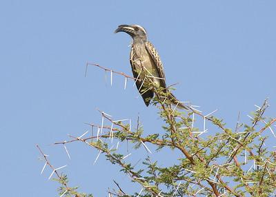 GRAY HORNBILL - KENYA
