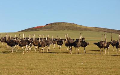 OSTRICHES - WESTERN CAPE, SOUTH AFRICA