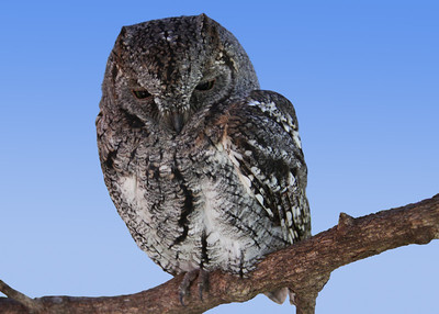 SCOPS OWL - SOUTH AFRICA