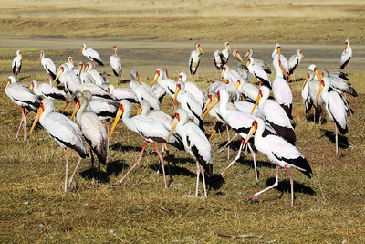YELLOW BILLED STORK - KENYA