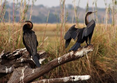 SNAKEBIRDS - BOTSWANA
