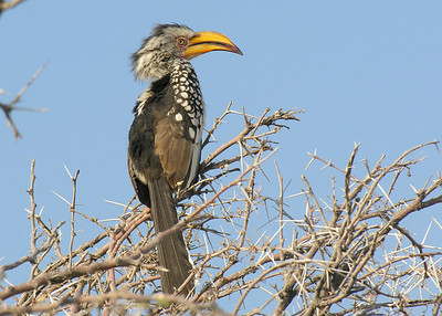 YELLOW BILLED HORNBILL - NAMIBIA