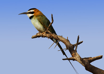 EUROPEAN BEE EATER - KENYA