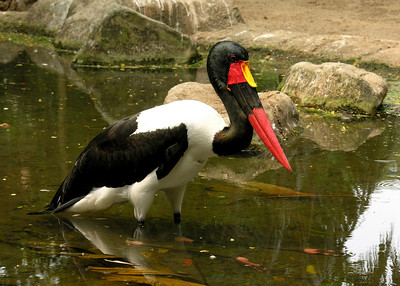 SADDLE BILLED STORK - ZAMBIA