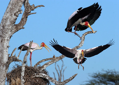 YELLOW BILLED STORKS - SOUTH AFRICA