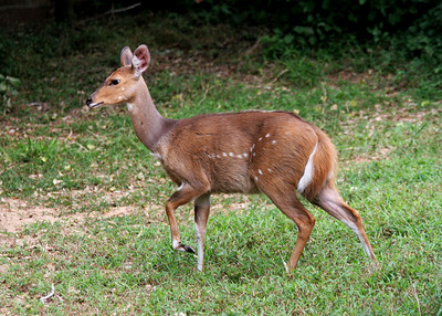 BUSHBUCK - SOUTH AFRICA