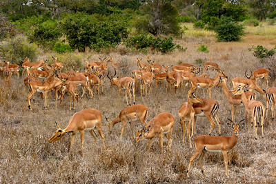 IMPALAS - SOUTH AFRICA