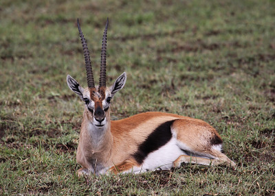 THOMPSON'S GAZELLE - KENYA