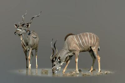 KUDUS - NAMIBIA