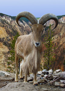 BARBARY SHEEP - NORTH AFRICA