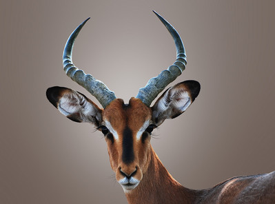 BLACK FACED IMPALA - NAMIBIA