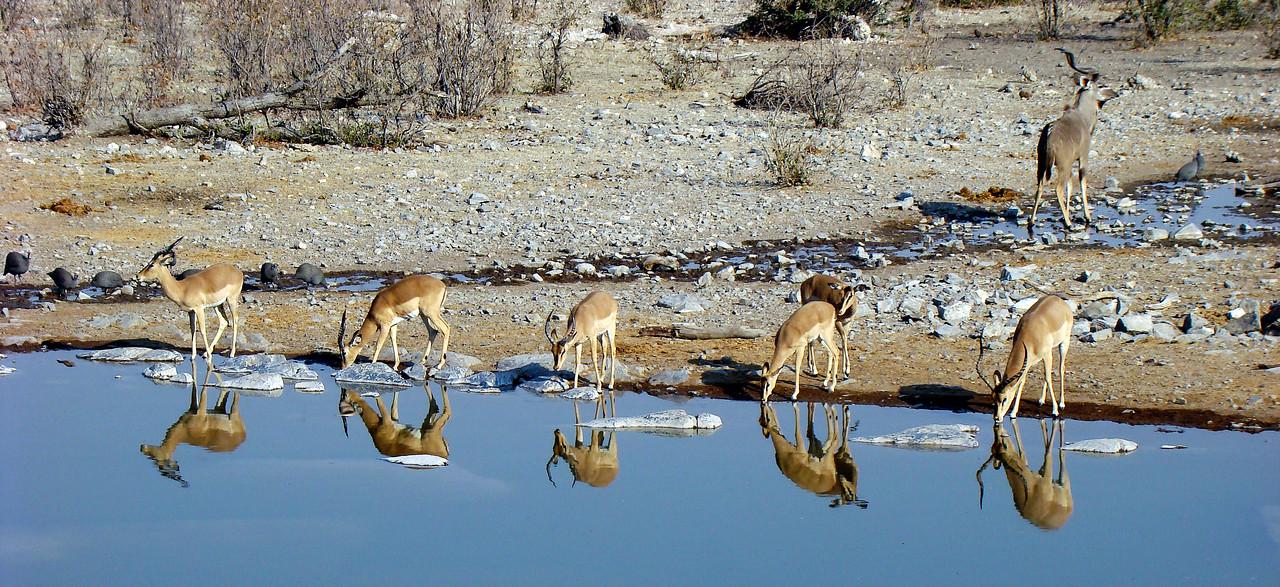 BLACK FACED IMPALAS - NAMIBIA