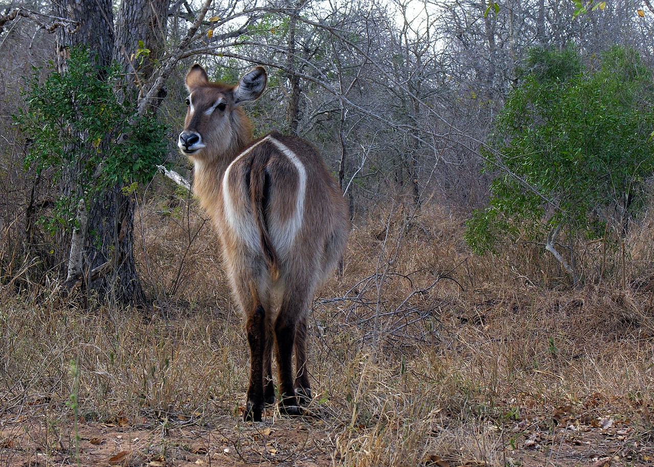 WATERBUCK - SOUTH AFRICA
