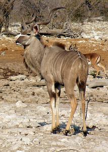 KUDU - NAMIBIA