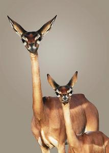 GERENUKS - SAMBURU, KENYA