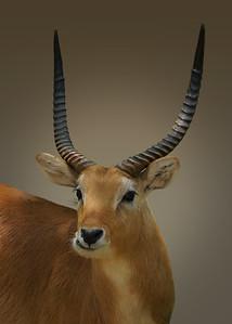 RED LECHWE - BOTSWANA
