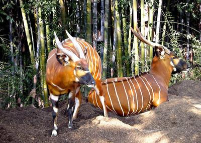 BONGOS - KENYA