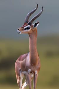 GERENUK - KENYA