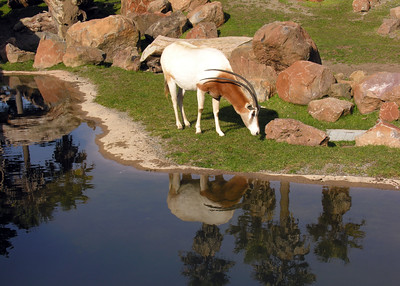 SCIMITAR HORNED ORYX - NORTH AFRICA
