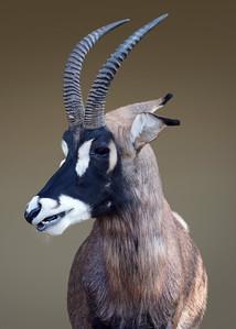 ROAN ANTELOPE - KENYA