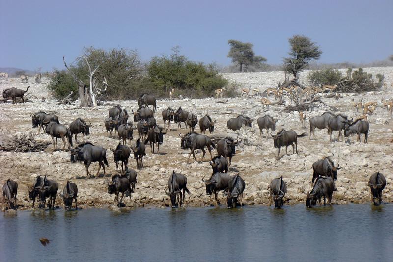 WILDEBEEST - NAMIBIA