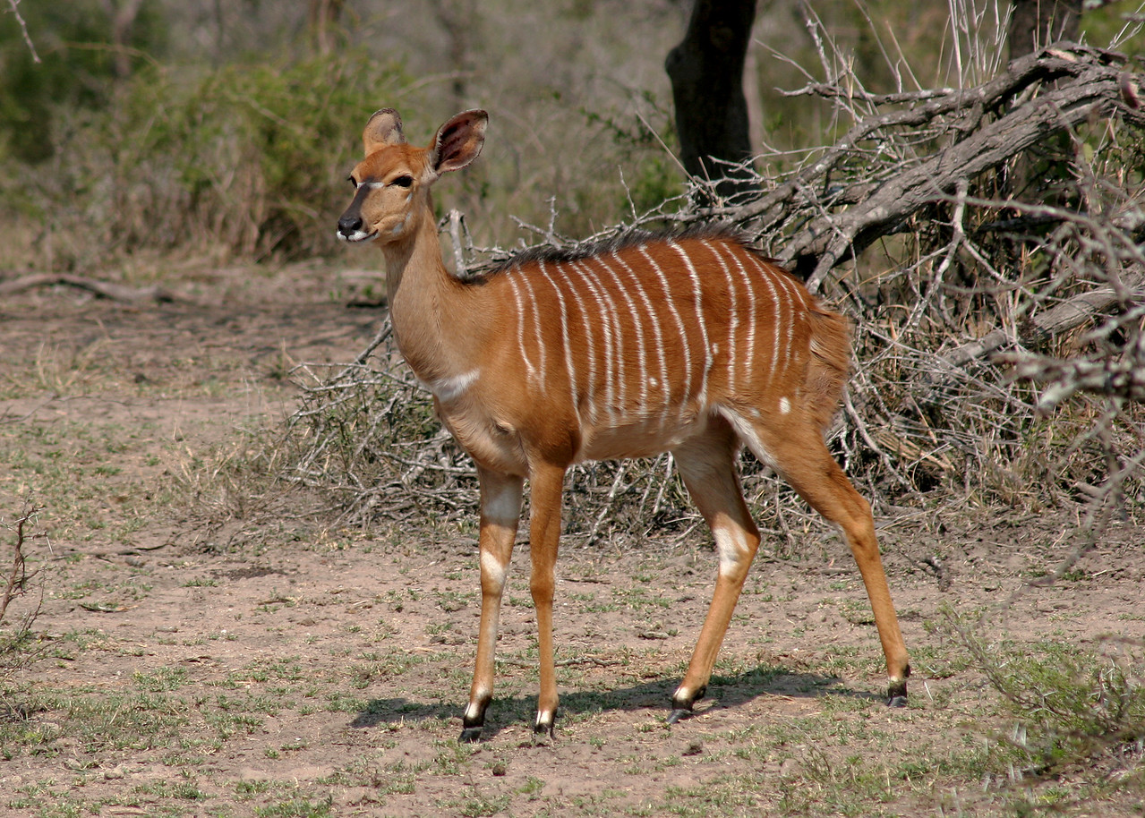 NYALA - SOUTH AFRICA
