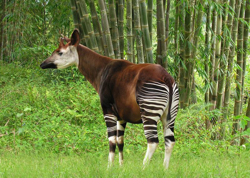 OKAPI - CENTRAL AFRICA