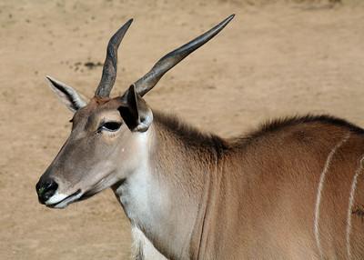 ELAND - NAMIBIA