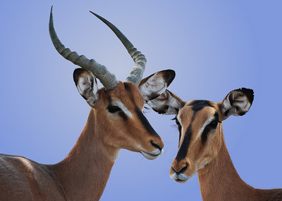 BLACK FACED IMPALAS - NAMIBIA