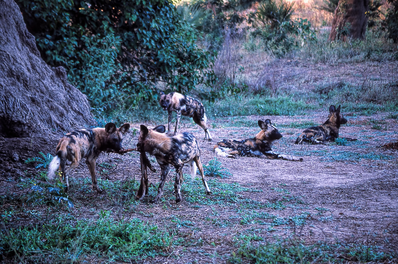 AFRICAN WILD DOGS - MANA POOLS, ZIMBABWE