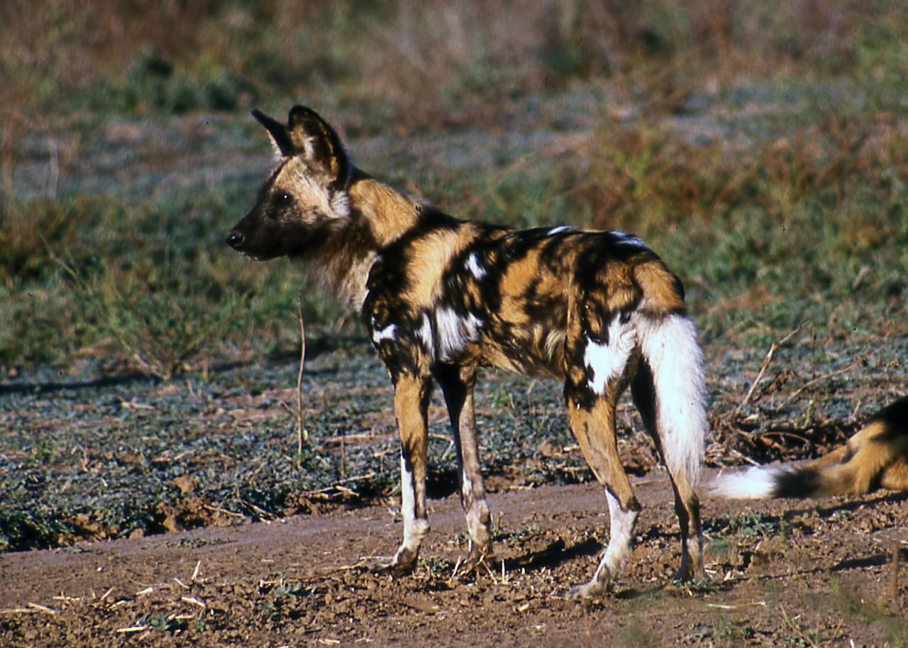 AFRICAN WILD DOG - MANA POOLS, ZIMBABWE