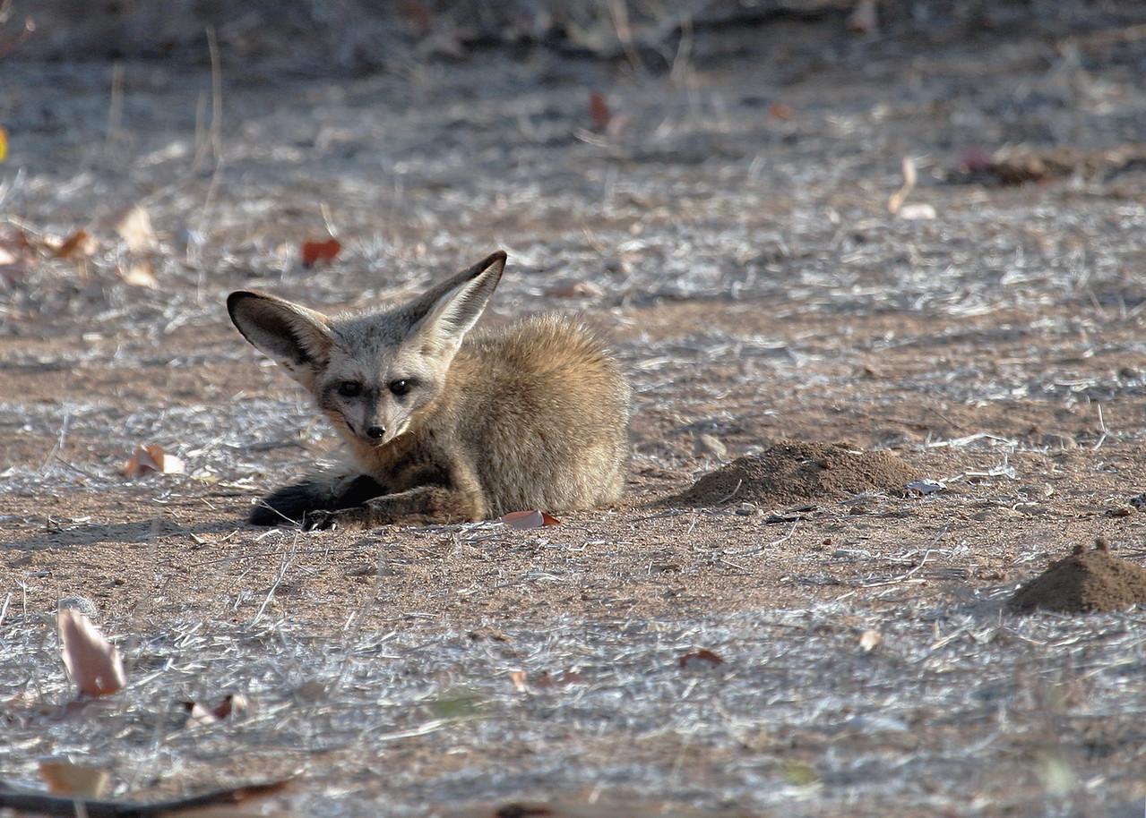 BAT EARED FOX - NAMIBIA