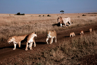 LION - KENYA