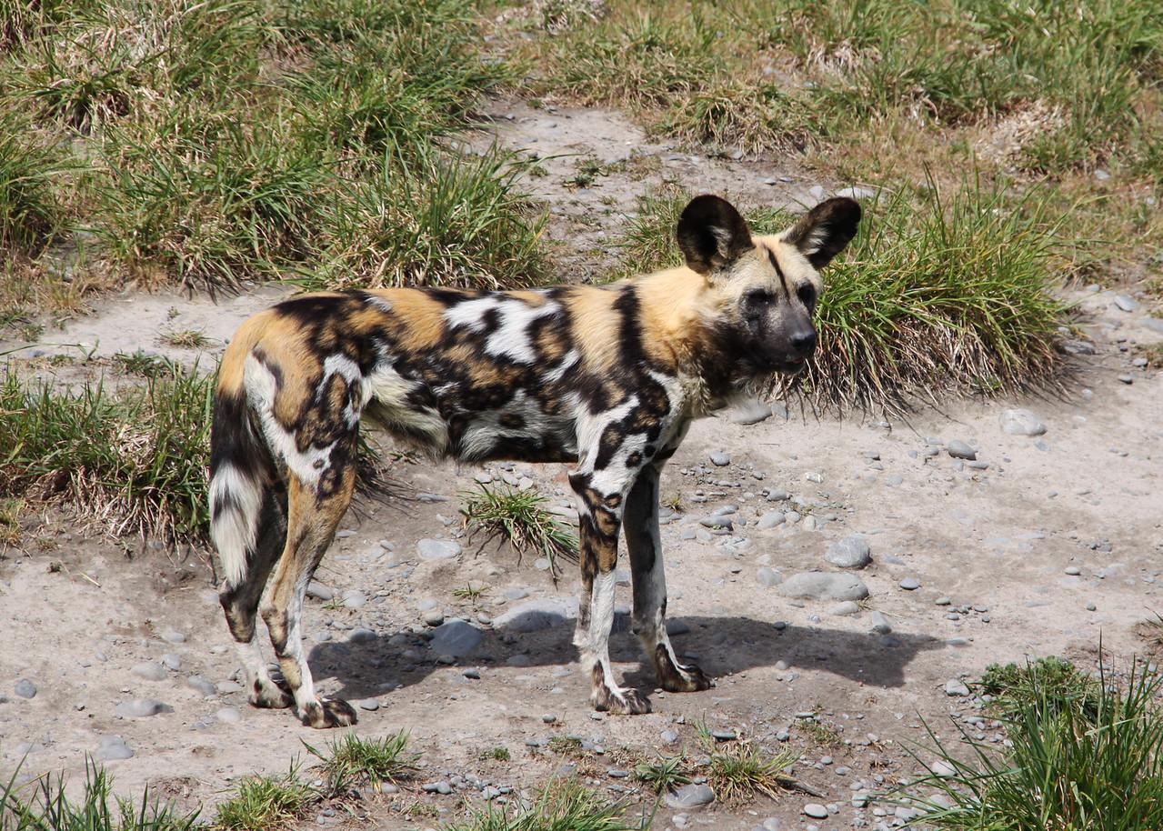 AFRICAN WILD DOG - NAMIBIA