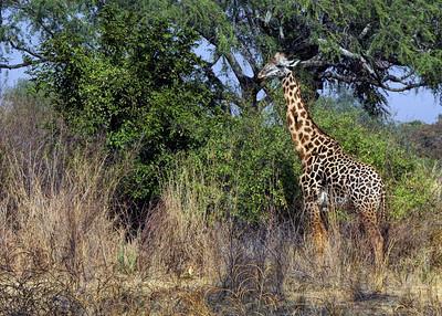 THORNICROFT'S GIRAFFE - SOUTH LUANGWA PARK, ZAMBIA