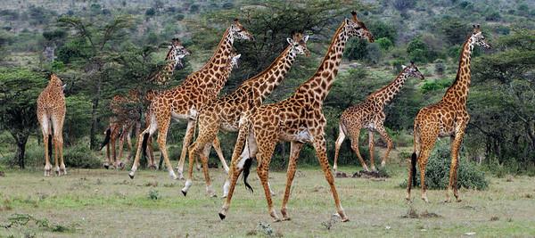 MASAI GIRAFFES - MASAI MARA, KENYA
