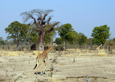 THORNICROFT'S GIRAFFE - ZAMBIA