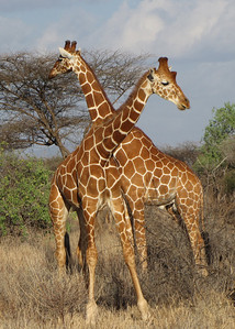 RETICULATED GIRAFFES - SAMBURU, KENYA