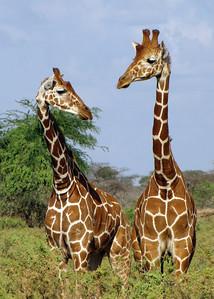 RETICULATED GIRAFFES - SAMBURU, KENYA