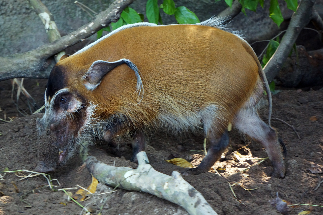 RED RIVER HOG - KENYA