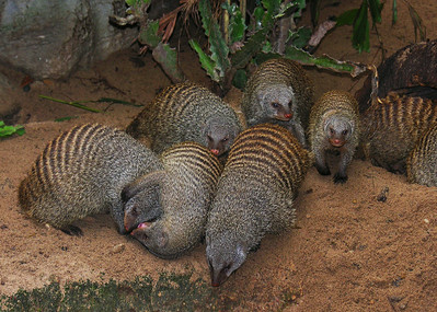 BANDED MONGOOSE - NAMIBIA